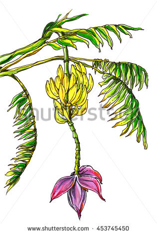 Banana Blossom Stock Photos, Royalty.