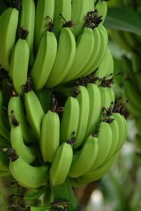 Bananas Photo Clipart Image.
