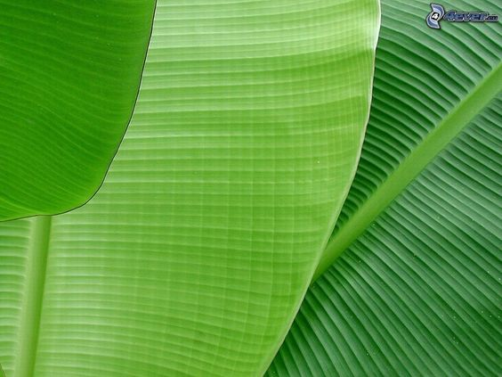Gallery For > Banana Leaf Clip Art.