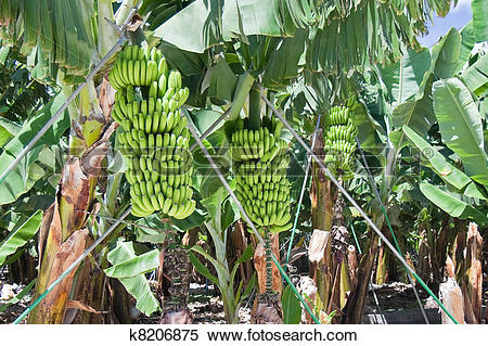 Stock Image of Detail of a banana plantation at La Palma k8206875.