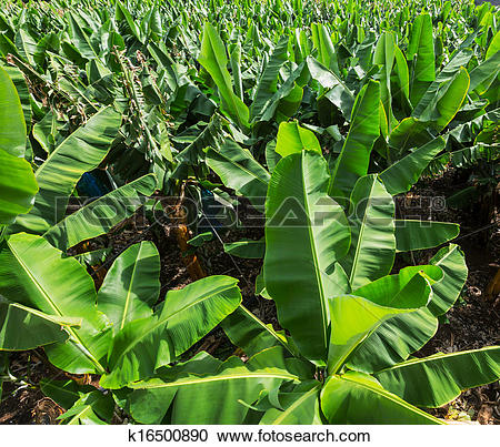 Stock Photography of Banana plantation k16500890.