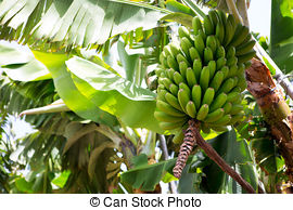 Banana plantation Images and Stock Photos. 2,282 Banana plantation.