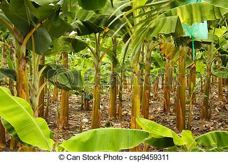 Stock Photography of Banana monoculture.