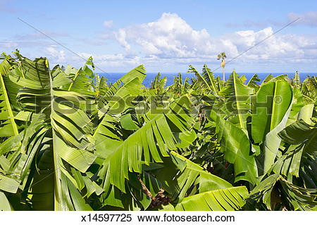 Stock Image of Banana plantation x14597725.