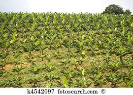 Banana plantation Images and Stock Photos. 2,334 banana plantation.