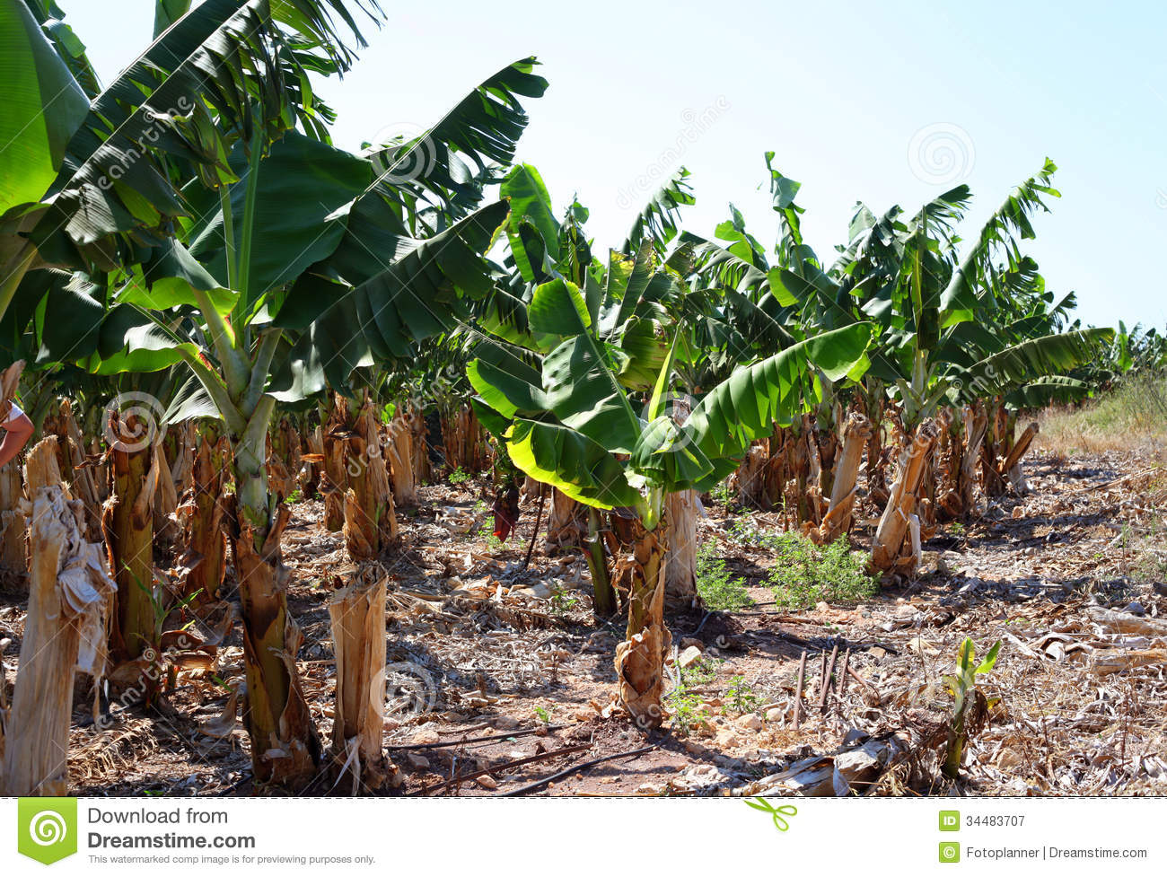 Banana Plantation Royalty Free Stock Photography.