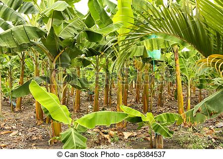 Picture of Banana monoculture.