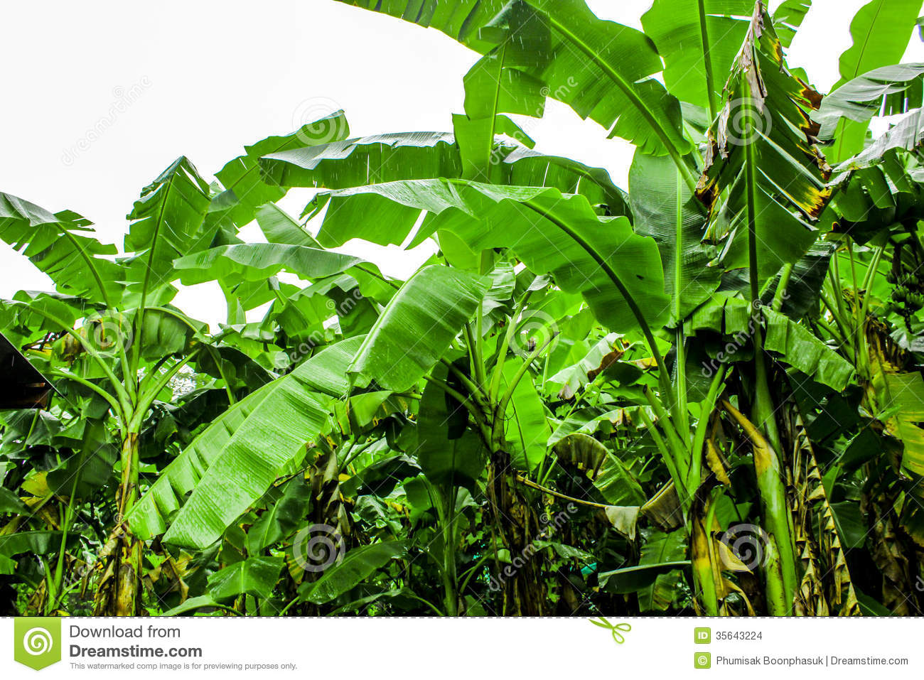 Banana Plantation Garden Is Moist And Raindrop Stock Images.