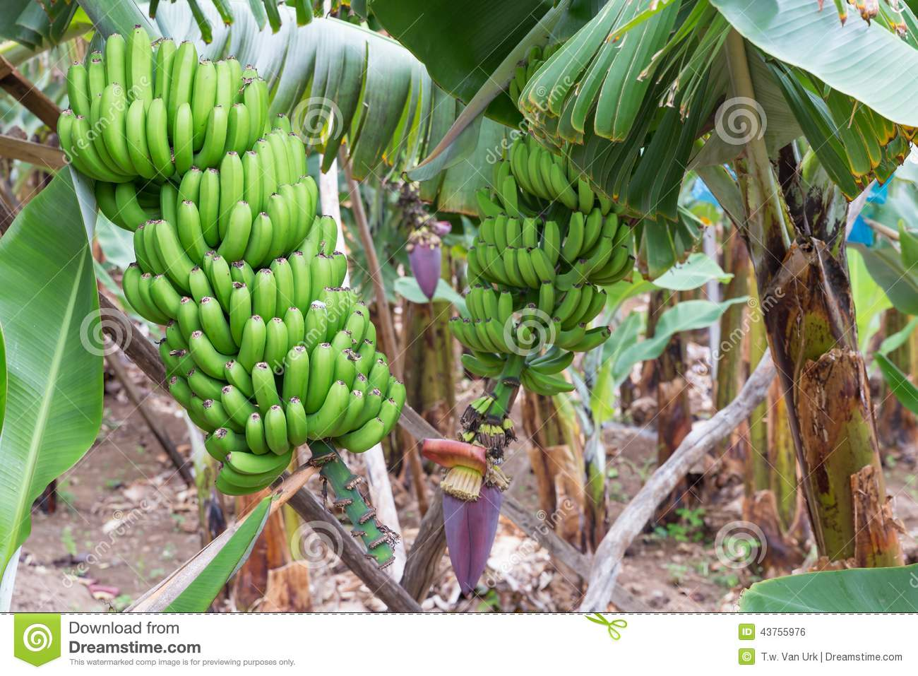 Banana Plantation At Madeira Island Stock Photo.