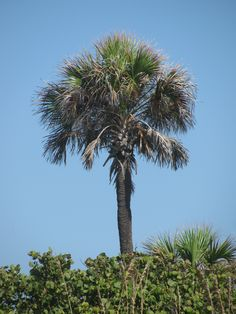 Vector Clip Art Palm Trees.