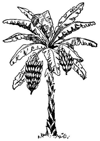 Banana Tree Drawing.