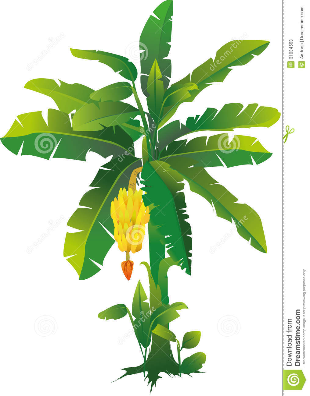 Banana Tree Stock Photos.