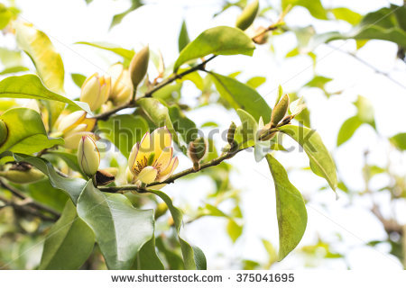 "banana Shrub"" Stock Photos, Royalty."