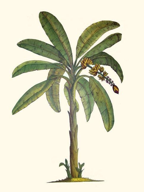 Banana Tree to go with my Wyatt monkey tattoo that I want.