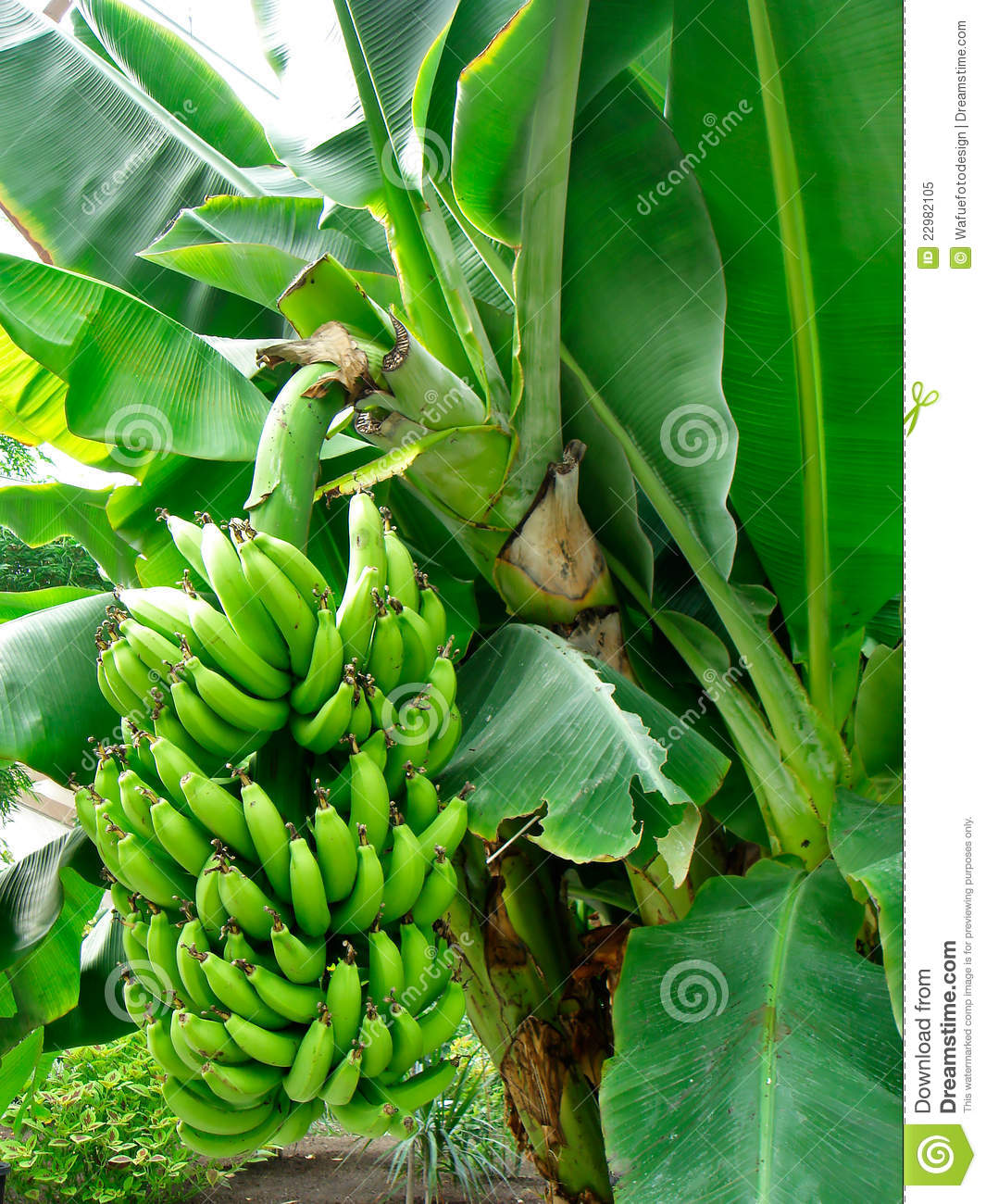 Banana Shrub Royalty Free Stock Photo.