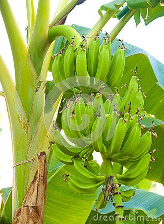 Banana Shrub Royalty Free Stock Photography.