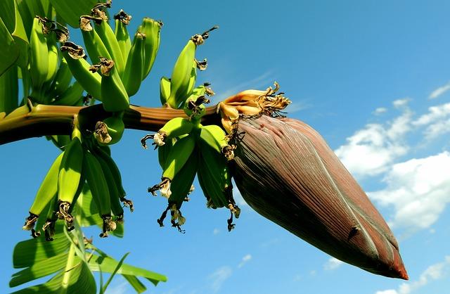 Free photo Banana Green Banana Shrub Food Plant.