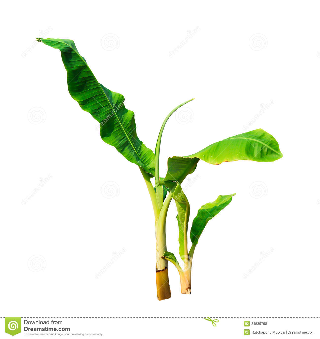 Young Banana Tree Isolated On White Background Stock Photo.