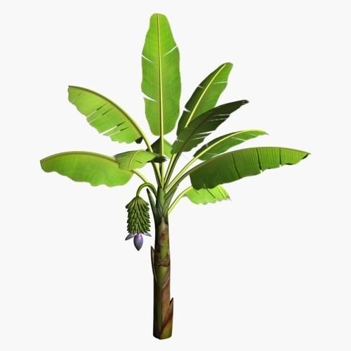 Banana Tree Image.
