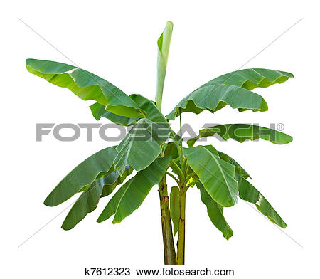 Stock Photo of Green Bananas on a Banana Tree k2594884.