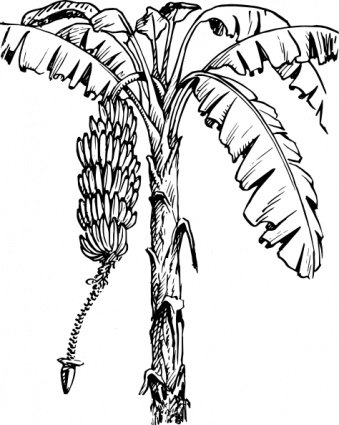 Banana Tree Clipart Picture Free Download.