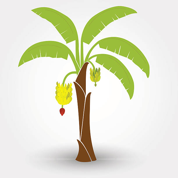 Best Banana Tree Illustrations, Royalty.