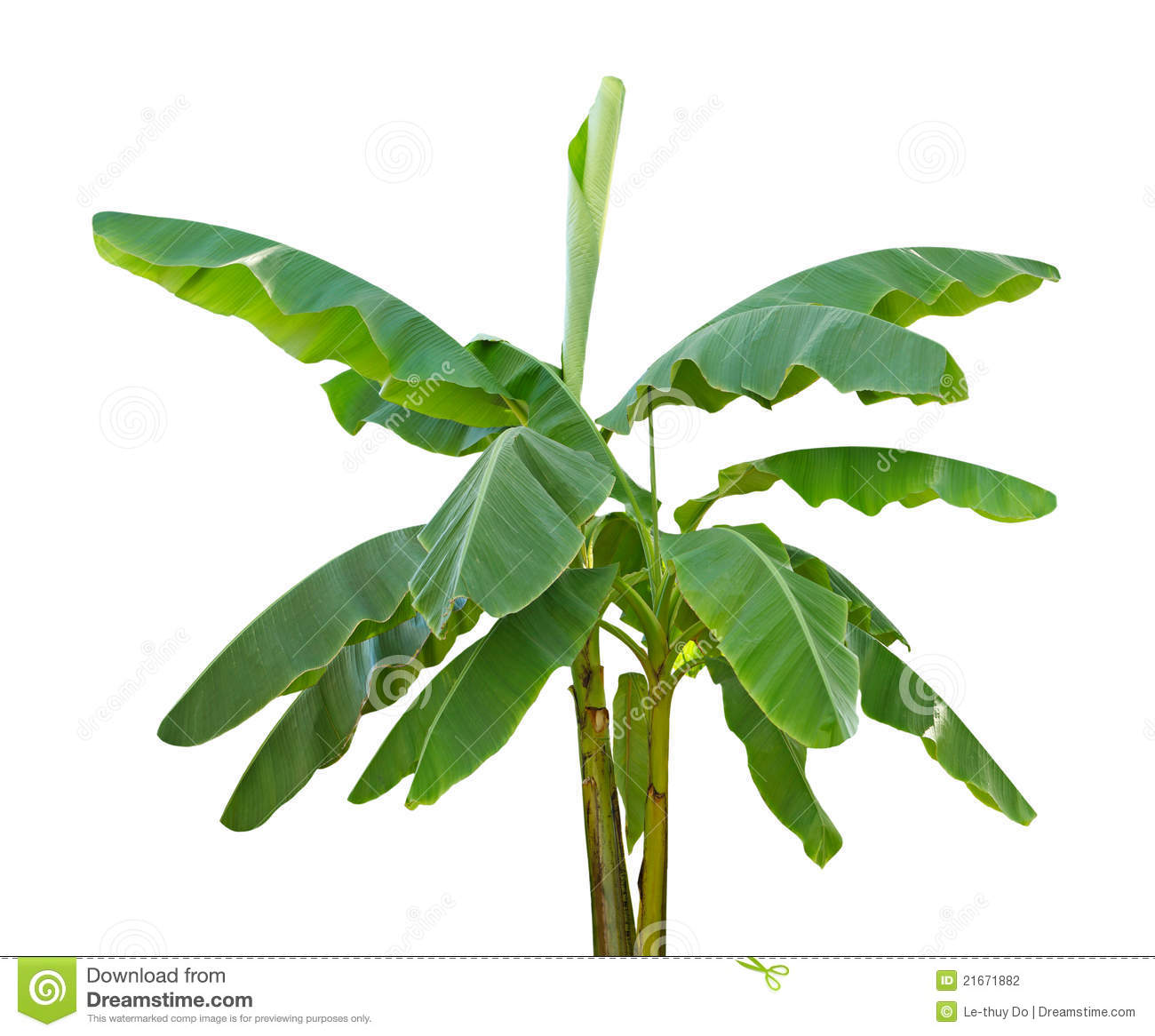 Banana Stem Stock Photos, Images, & Pictures.
