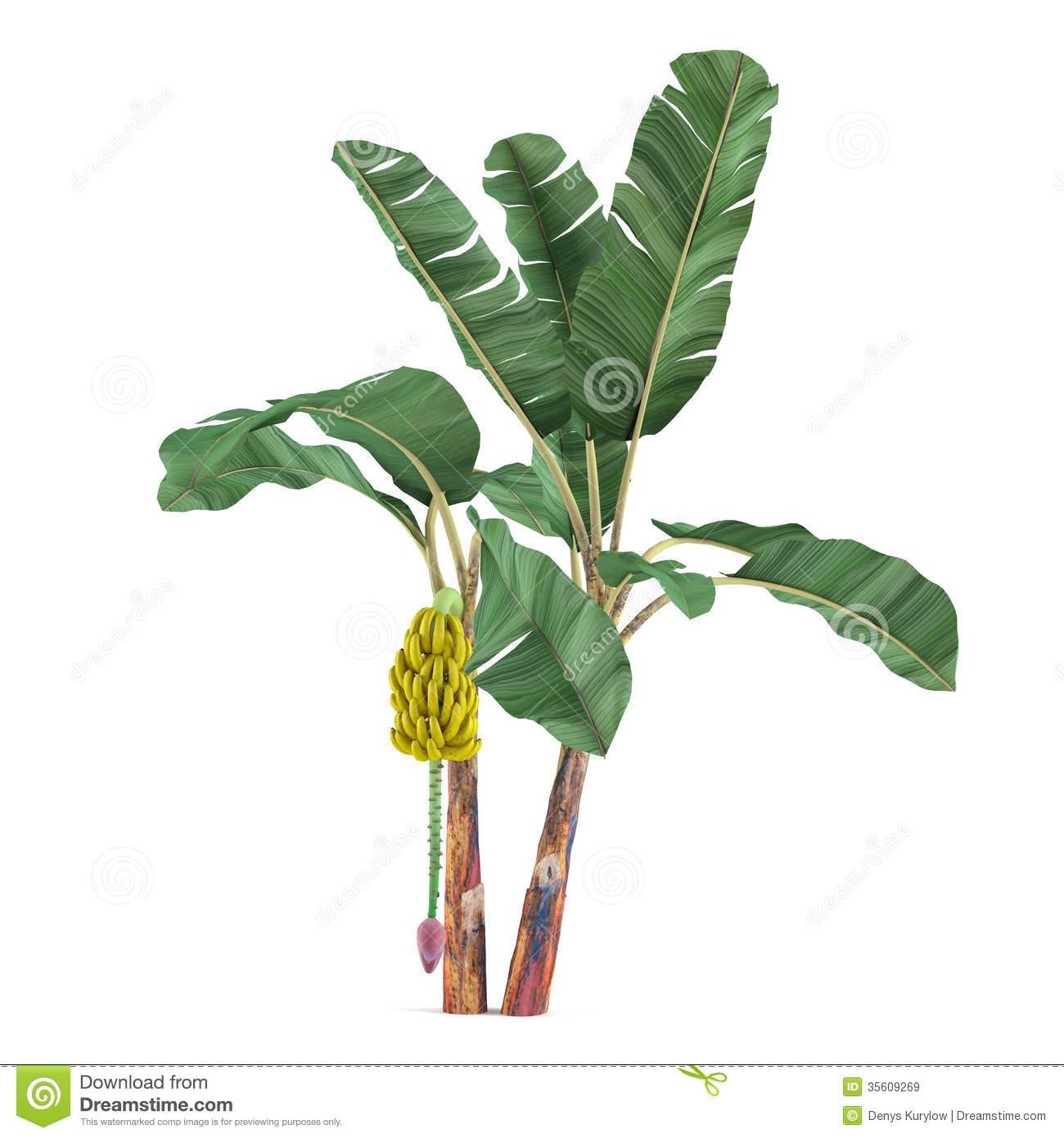 Palm Plant Tree Isolated. Musa Acuminata Banana Stock Photos.