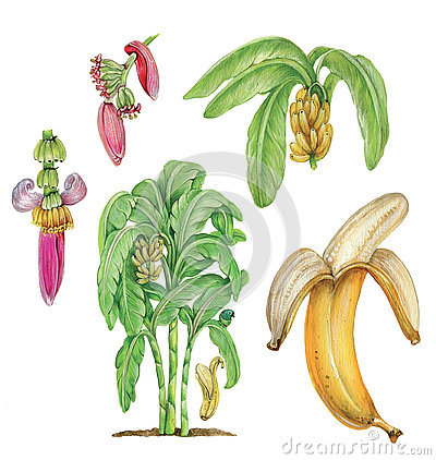 Banana Musa Acuminata Stock Illustrations, Vectors, & Clipart.