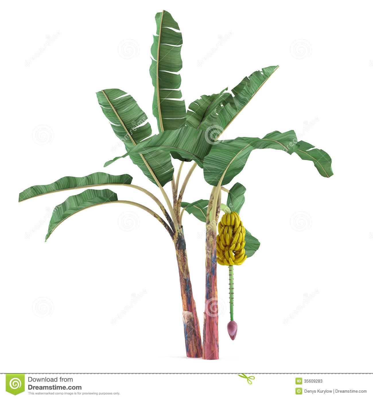 Banana Tree Stock Illustrations.