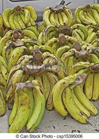 Stock Photography of Green Bananas, Musa X paradisiaca L, Family.