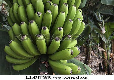Stock Photography of Canary Islands bananas (Musa sp.), banana.