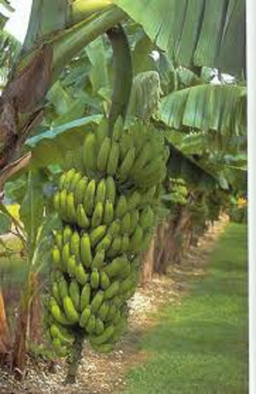 Banana Tree Image.