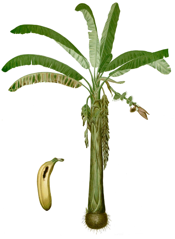Lakatan banana.