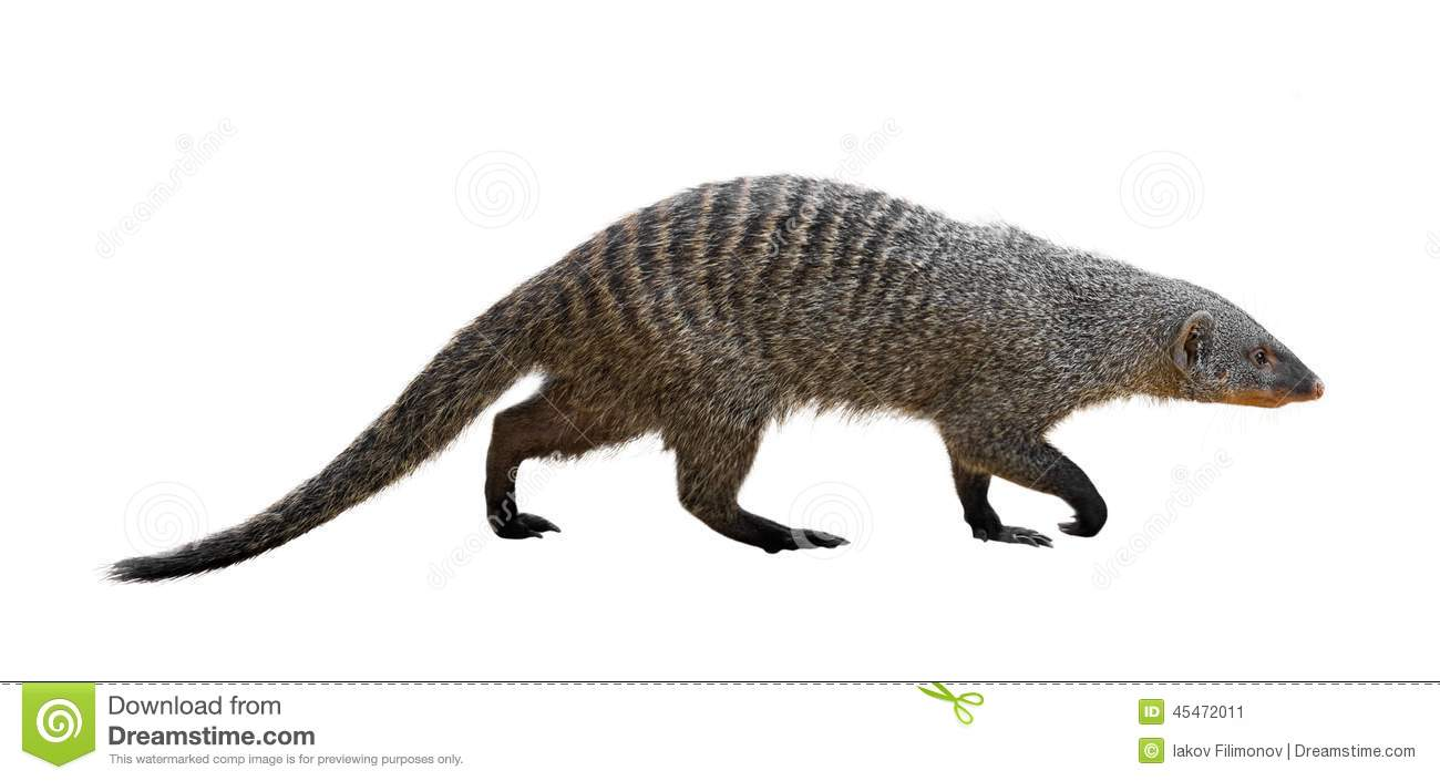 Banded Mongoose Stock Photo.