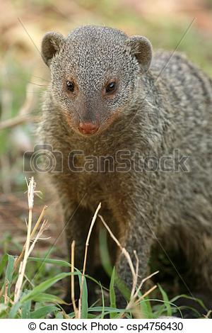 Stock Photography of Banded Mongoose.