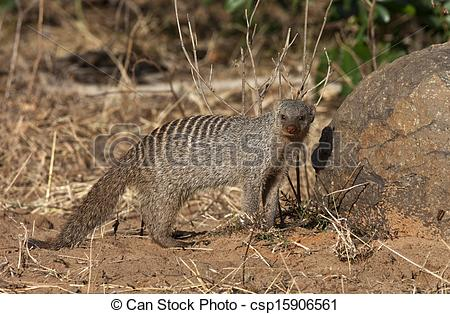 Stock Image of Banded Mongoose.