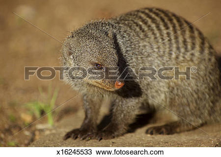 Stock Photo of Banded Mongoose x16245533.