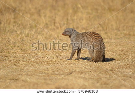 Banded Mongoose Stock Photos, Royalty.