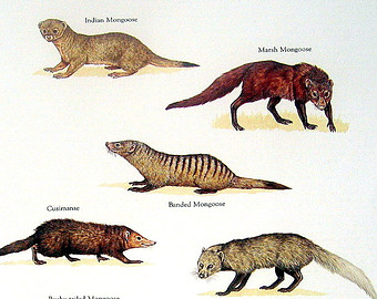 Pictures Of Mongoose.