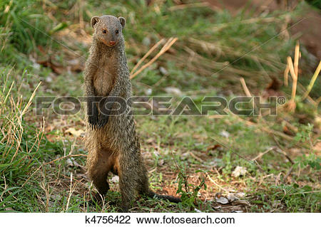 Banded mongoose clipart #12