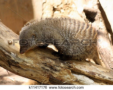Stock Images of Banded Mongoose Looking for Food k11417176.