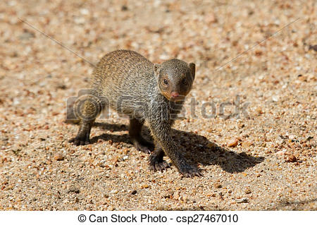 Stock Photography of Banded mongoose baby walk alone over sand.