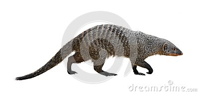 Banded mongoose clipart #18