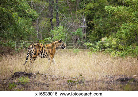 Stock Images of An adult tiger in Bandhavgarh National Park, India.