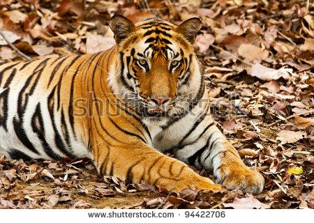 """indian_tiger"""" Stock Photos, Royalty."""