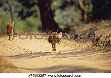 Picture of Indian wild dogs, Cuon alpinus, pair walking down road.