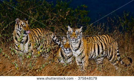 Project Tiger Stock Photos, Royalty.