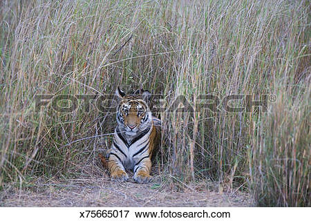 Picture of India, Bandhavgarh National Park, tiger cub lying in.