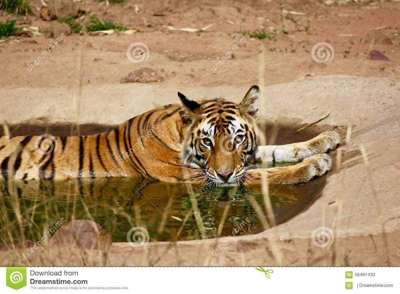 Tiger Lazing In A Water Hole Stock Photo.